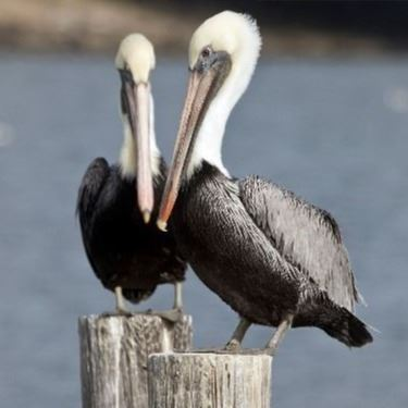 Pelicans Sitting on a Log