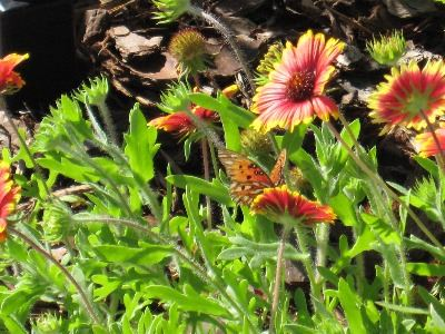 A close-up of blanket-flowers on which a brown and orange butterfly sits